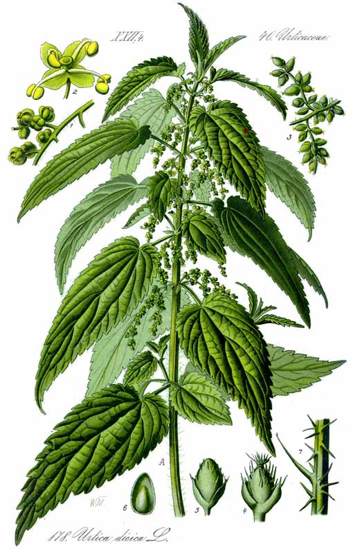 http://ilcorvopasta.files.wordpress.com/2013/03/stinging-nettle.jpg